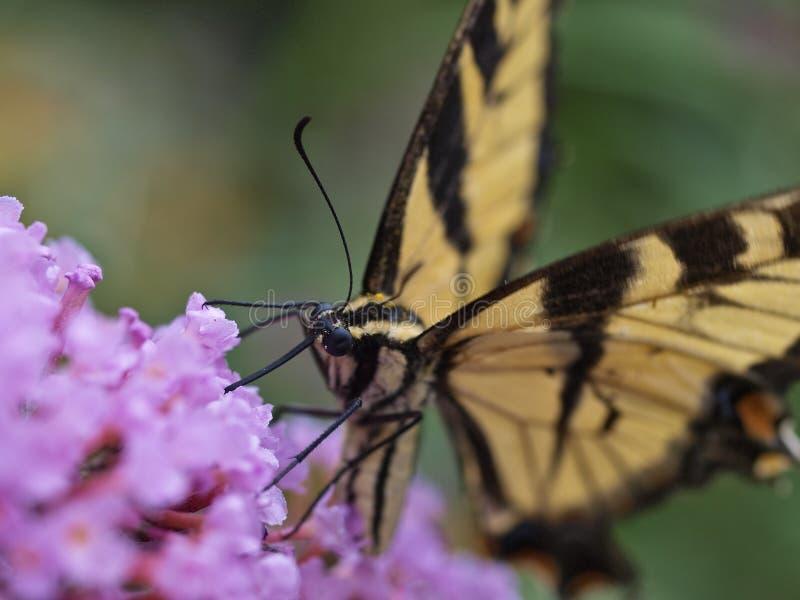 蝴蝶东部swallowtail老虎 免版税库存图片