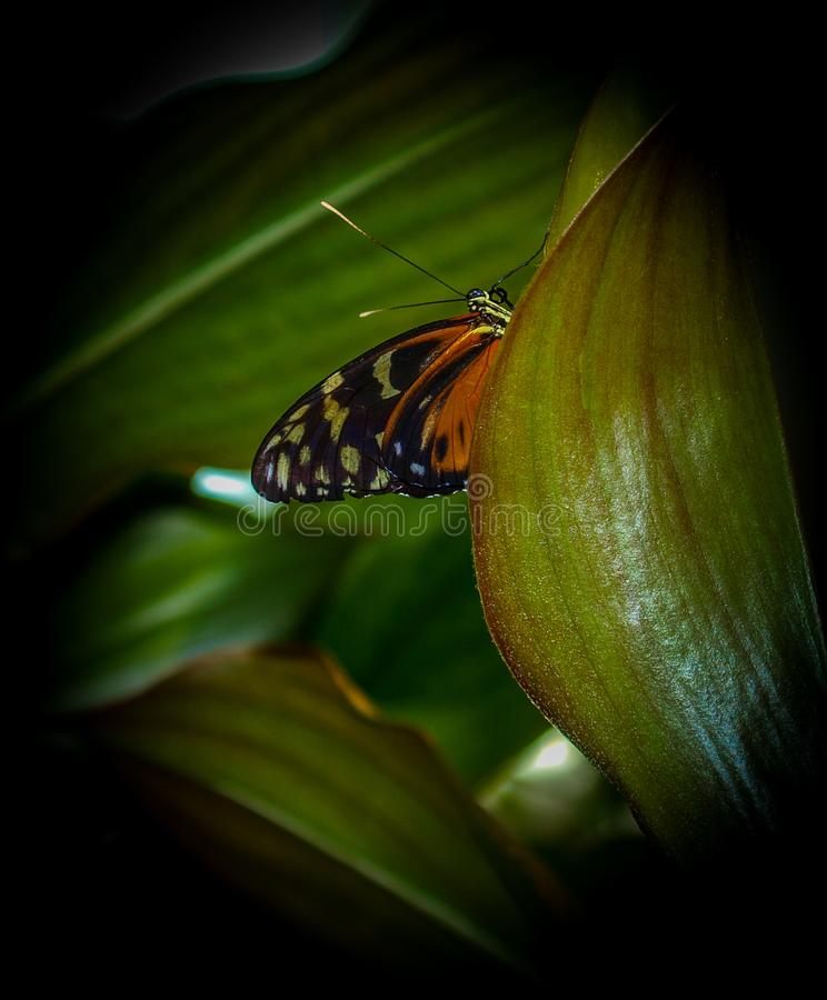 蝴蝶丹尼亚斯国君plexippus 库存图片