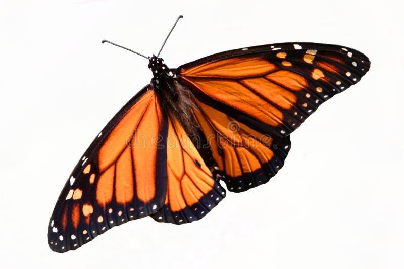 蝴蝶丹尼亚斯查出的国君plexippus 库存照片