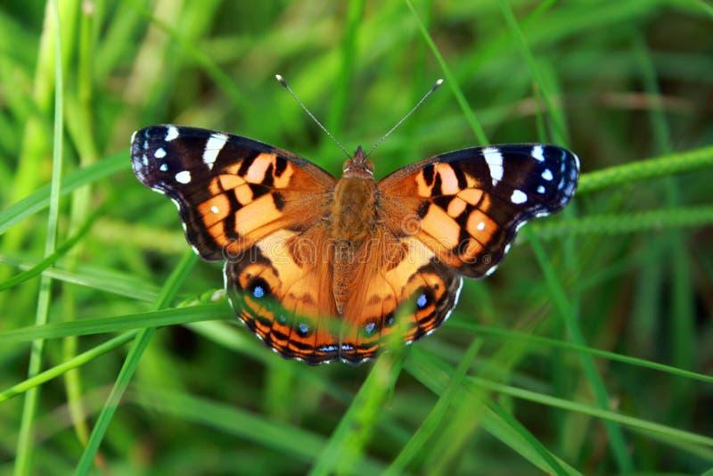 蝴蝶五颜六色的草 免版税库存照片