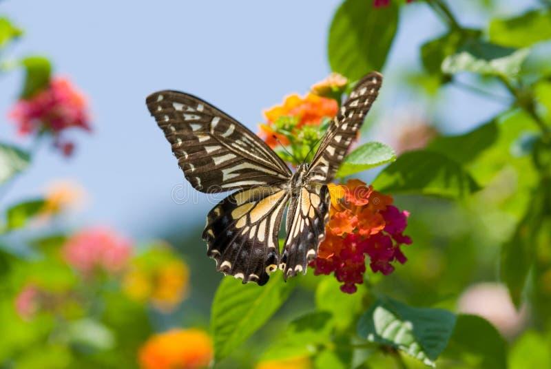 蝴蝶五颜六色的飞行swallowtail 免版税库存照片