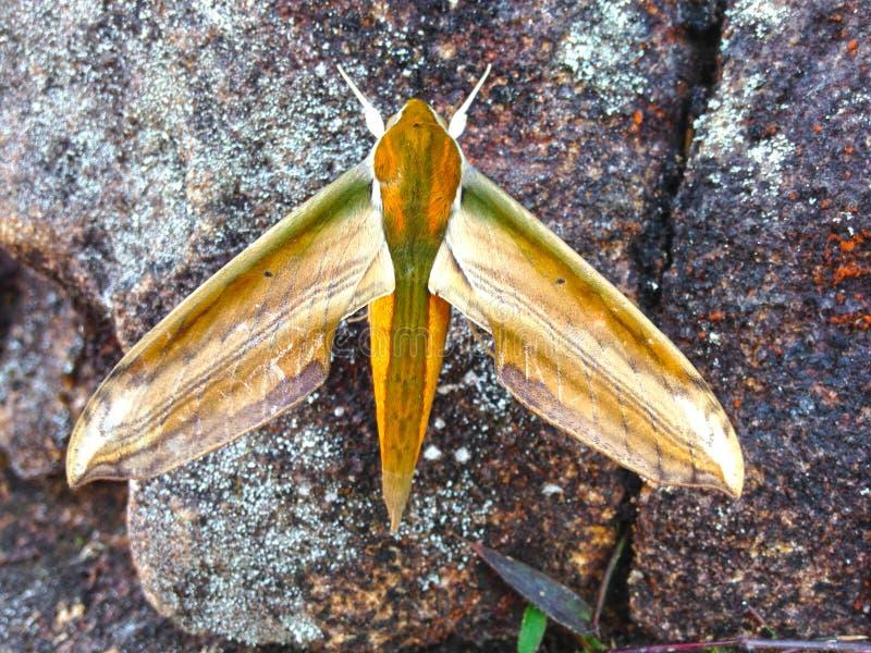 蝴蝶从亚当` s峰顶的夜飞蛾 库存图片