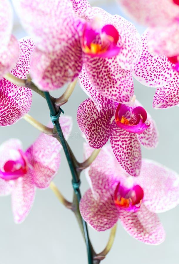 蝴蝶兰美丽的有斑点的桃红色和白色开花  与完善的瓣的五颜六色,异乎寻常的花俏丽的群 免版税库存图片