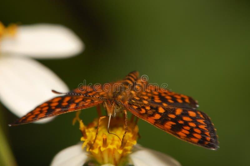 蝴蝶加勒比 库存图片