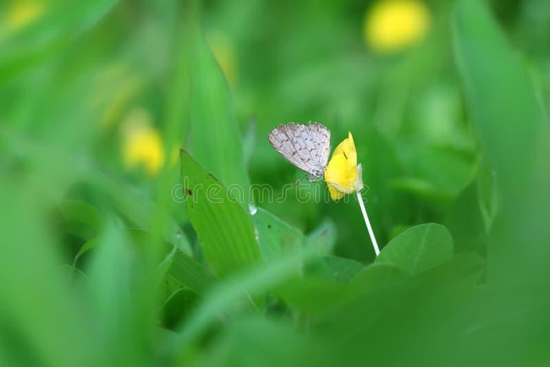 蝴蝶印度Zizina的奥蒂斯/较少草蓝色坐黄色花落花生属pintoi 库存照片
