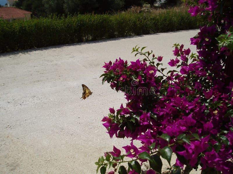蝴蝶和九重葛 免版税库存图片