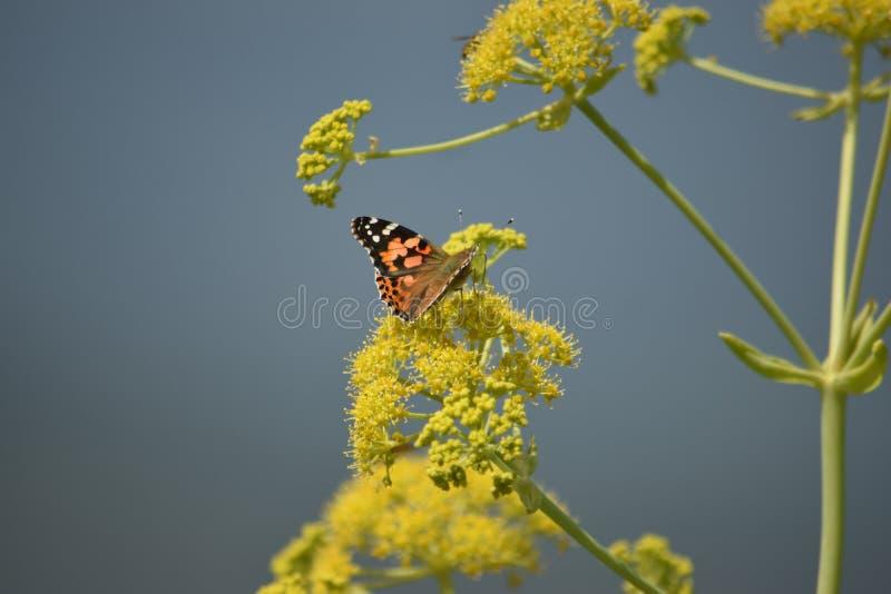 蝴蝶和蜂, Kajiado,地堑的宏观射击 免版税库存照片