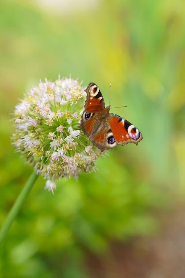 蝴蝶喝从葱花的花蜜 免版税库存照片
