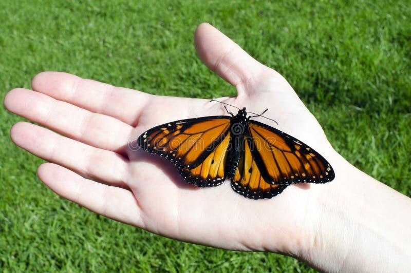 蝴蝶国君 库存图片
