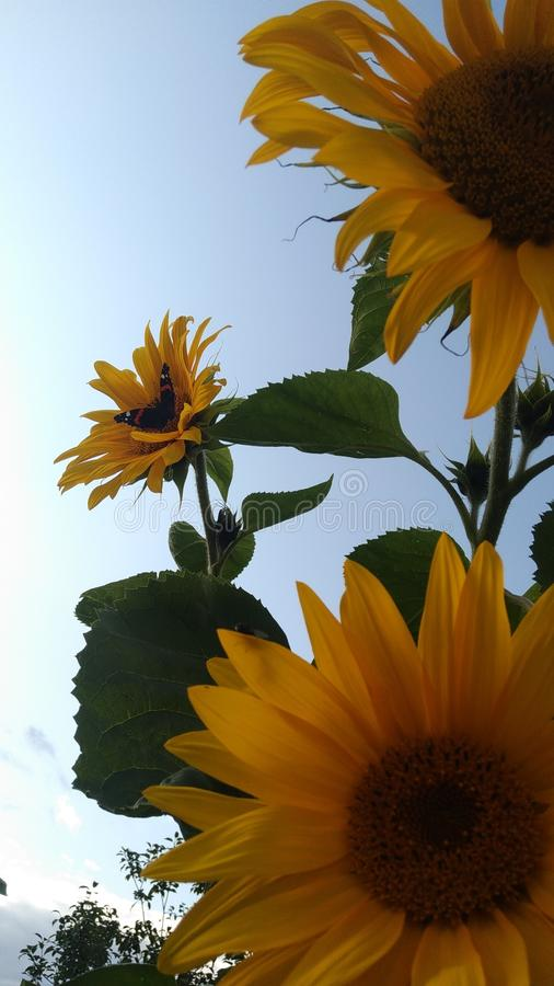 蝴蝶在向日葵的中心 在向日葵花的蝴蝶 免版税库存照片