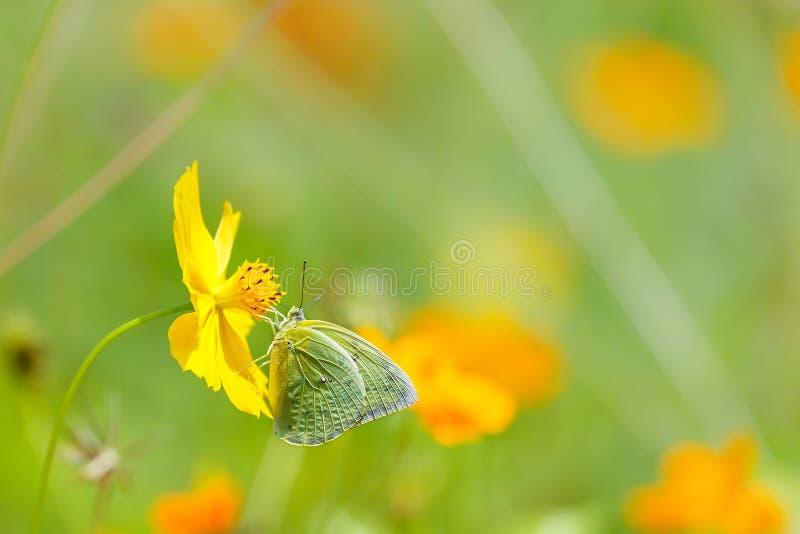 蝴蝶在庭院里,在橙色花背景迷离的蝴蝶 库存图片