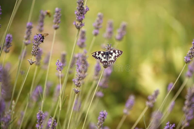 蝴蝶在淡紫色花的Melanargia galathea在一个晴朗的夏日会集花蜜 免版税库存图片