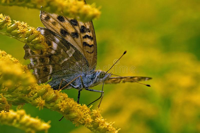 蝴蝶在特写镜头的银被洗涤的贝母Argynnis paphia 免版税库存照片