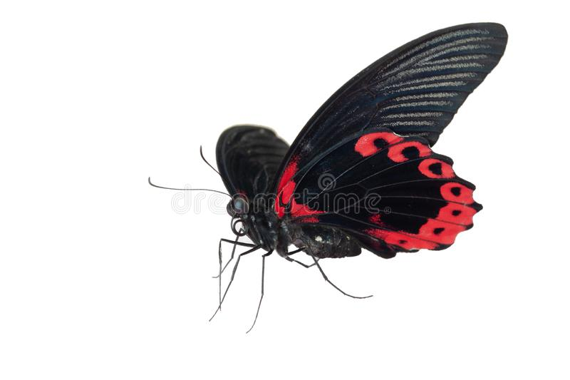 蝴蝶在白色背景的Papilio Rumanzovia孤立 宏指令,特写镜头 免版税库存图片