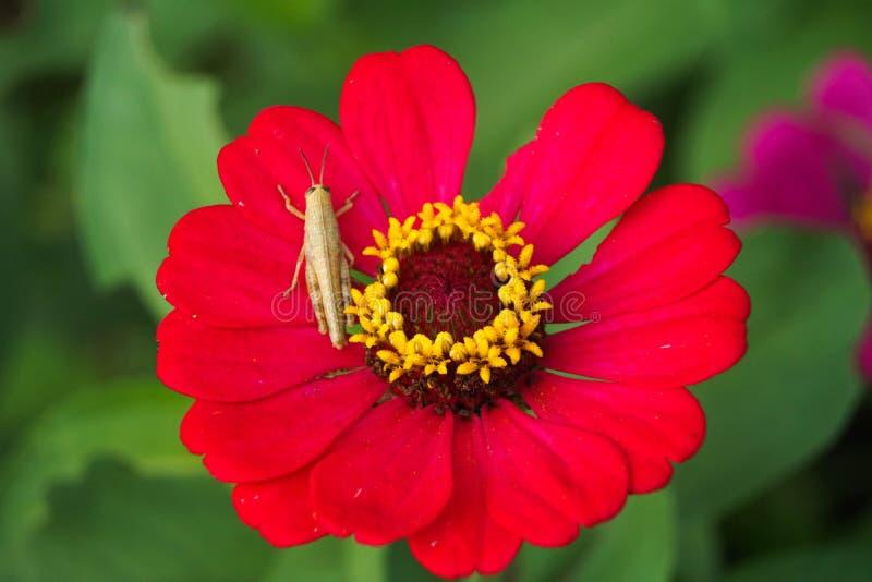蝴蝶在红色共同的百日菊属elegans的头状花序栖息 库存照片