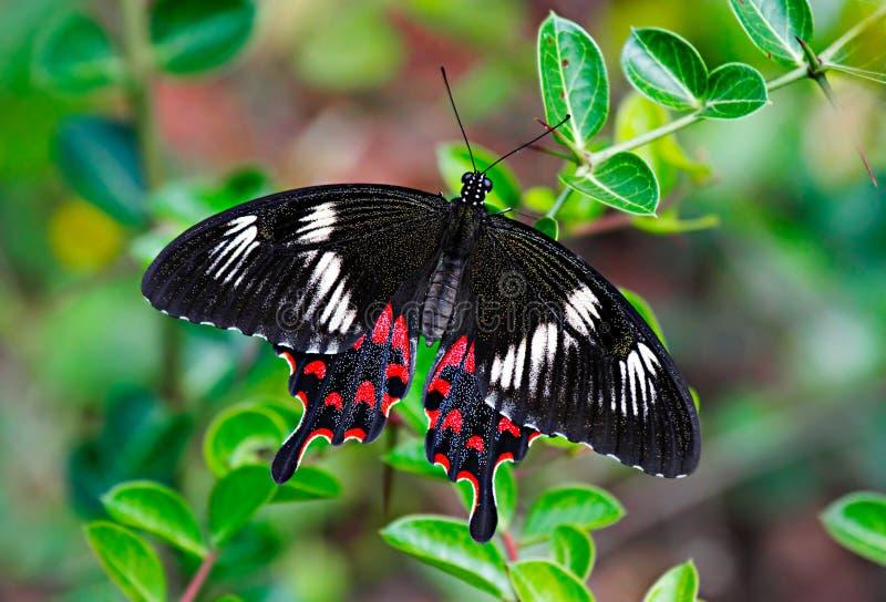 蝴蝶在绿色叶子的绯红色罗斯或Pachliopta虚张声势的人 免版税库存照片