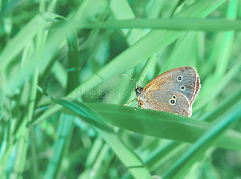蝴蝶在绿草丛林的窥视孔花  一个温暖的夏日的生气勃勃 免版税图库摄影