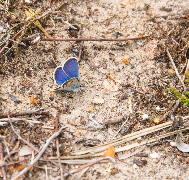 蝴蝶在绿草的自然生态环境 Plebejus阿格斯 免版税库存照片