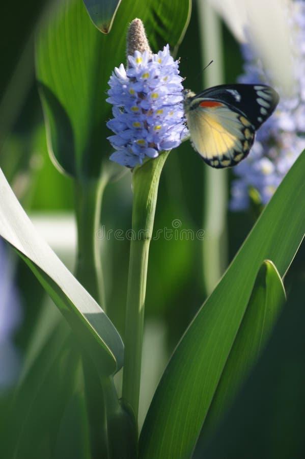 蝴蝶在花下来早晨 免版税库存图片
