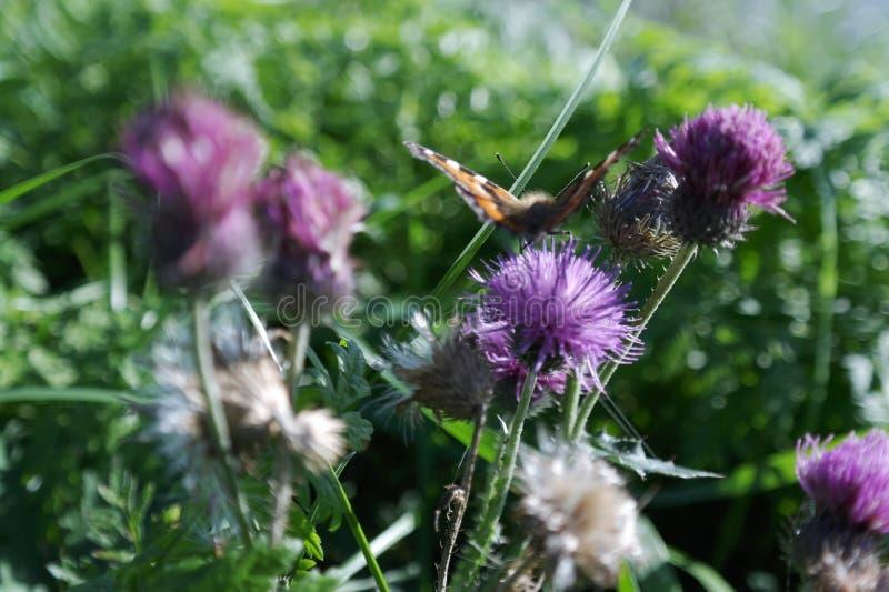 蝴蝶在花振翼 图库摄影