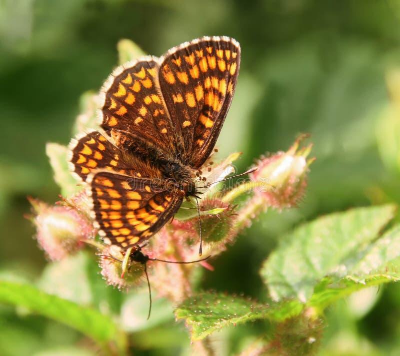 蝴蝶在花的荒地贝母 库存照片