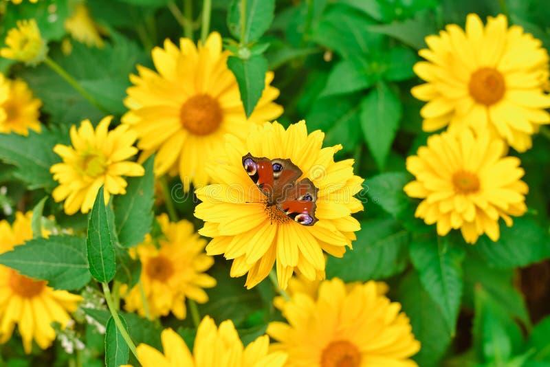 蝴蝶在黄色花特写镜头的孔雀眼睛 图库摄影