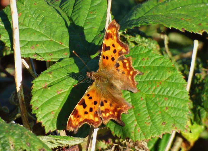 蝴蝶在黑莓灌木,在英国拍的照片的宏观关闭 免版税库存照片