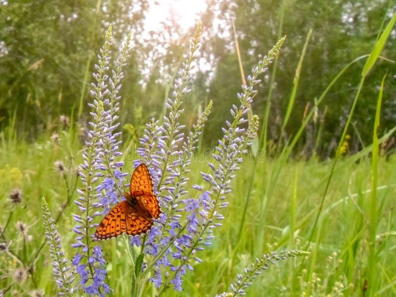 蝴蝶坐在森林背景的一朵花 免版税库存图片
