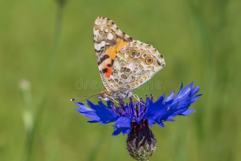 蝴蝶坐在绿草的蓝色矢车菊 库存图片