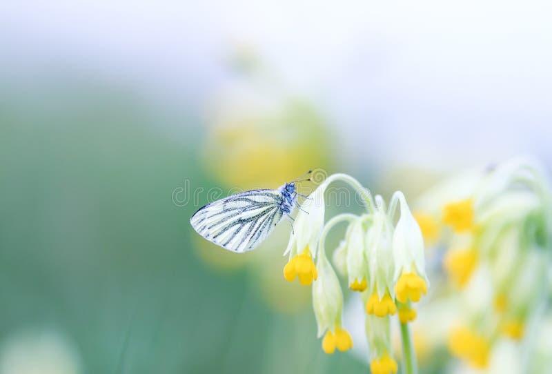 蝴蝶坐报春花的黄色花的春天绿色草甸 免版税库存图片