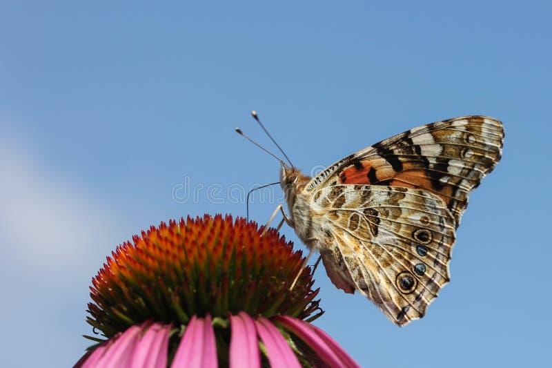 蝴蝶坐橙色花背景纯净的蓝色 免版税库存照片