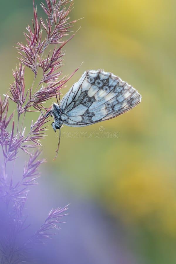 蝴蝶宏观射击使在草的白色Melanargia galathea有大理石花纹 免版税库存照片