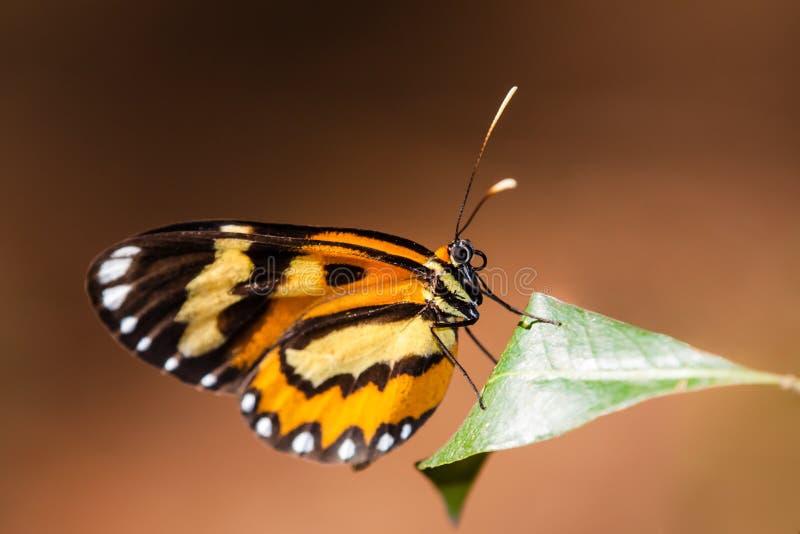蝴蝶宏观照片 老虎蝴蝶Placidina euryanassa特写镜头坐有褐色的一片绿色叶子 免版税库存照片