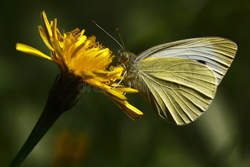 蝴蝶小的白色 免版税库存图片
