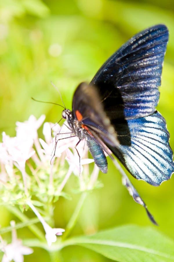 蝴蝶尾标 图库摄影