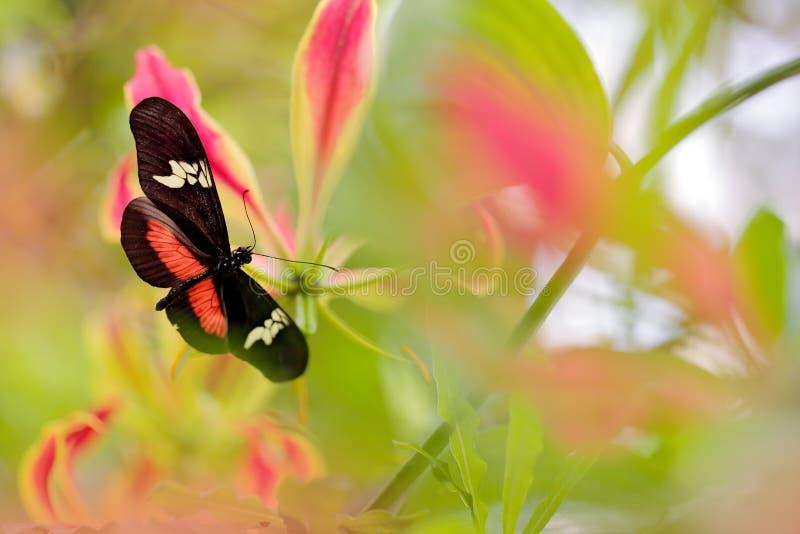 蝴蝶山Longwing, Heliconius clysonymus,在自然栖所 从巴拿马的好的昆虫绿色森林蝴蝶sitti的 库存照片