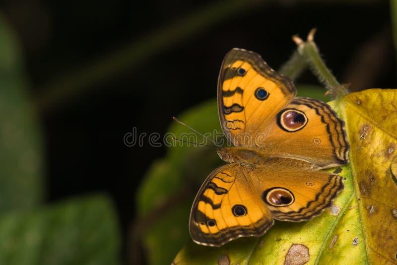 蝴蝶干叶子桔子 库存图片