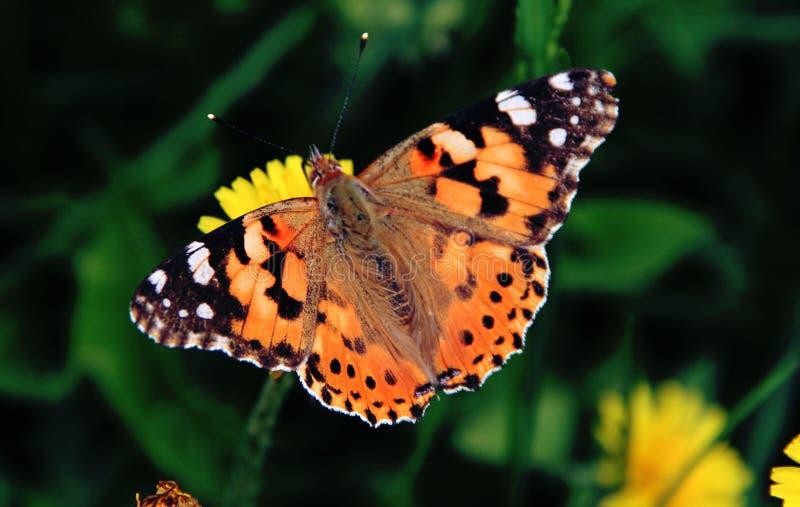 蝴蝶平静地坐一朵黄色蒲公英花 免版税图库摄影