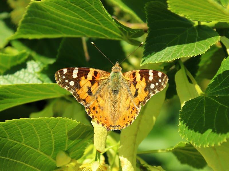 蝴蝶打开了它的翼和喂养菩提树花 免版税库存照片