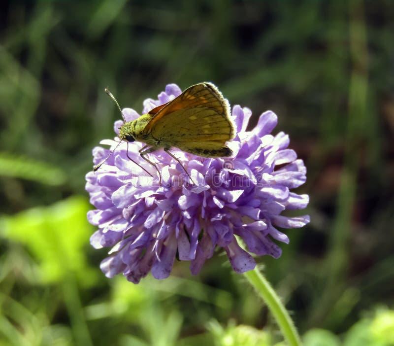 蝴蝶授粉一朵明亮的桃红色花 授粉的过程 免版税库存图片