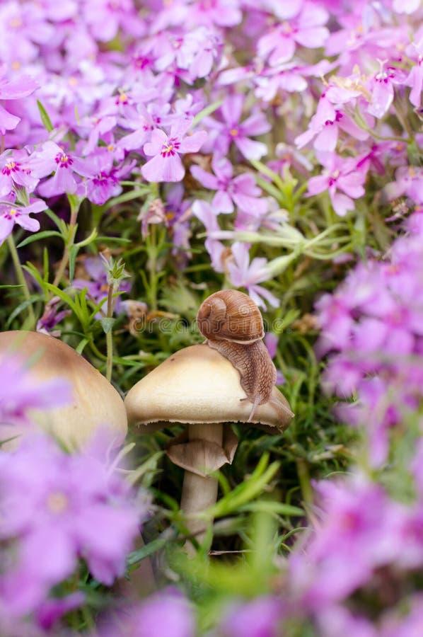 蝴蝶接近的照片在蘑菇的在美丽的福禄考花中 春天背景 库存图片