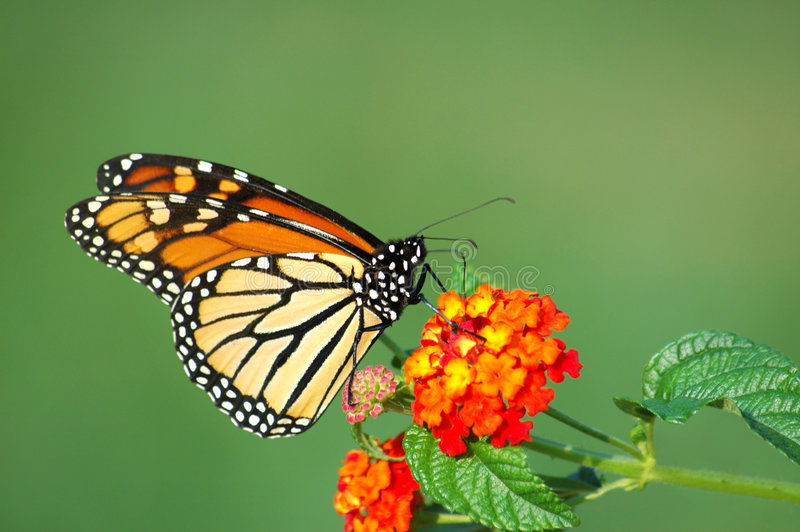 蝴蝶提供的马樱丹属国君 免版税库存照片