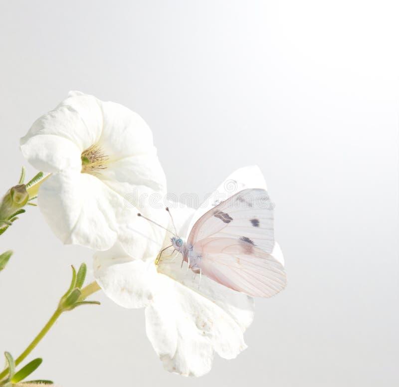 蝴蝶方格的花喇叭花白色 库存照片
