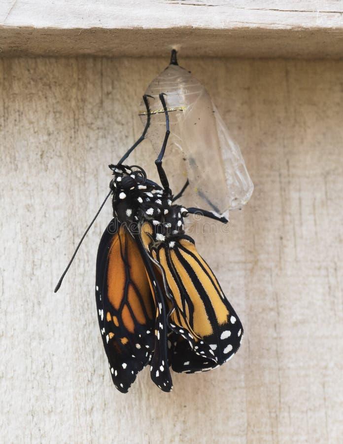 蝴蝶最近涌现了国君 库存照片
