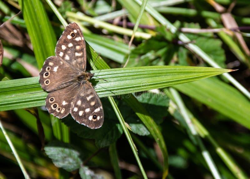 蝴蝶有斑点的木头 图库摄影