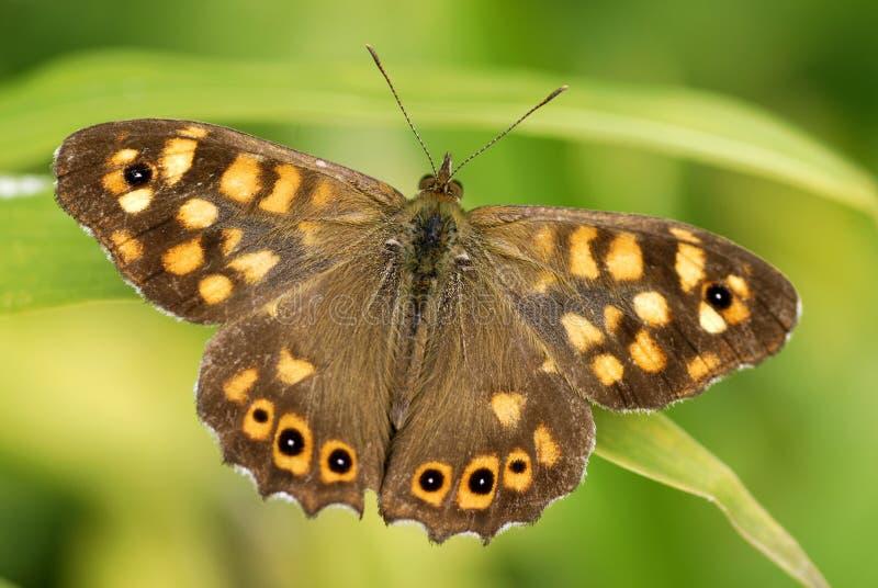 蝴蝶有斑点的木头 库存图片