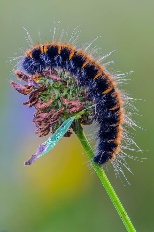 蝴蝶枯叶蛾长毛的毛虫在花的 免版税库存图片