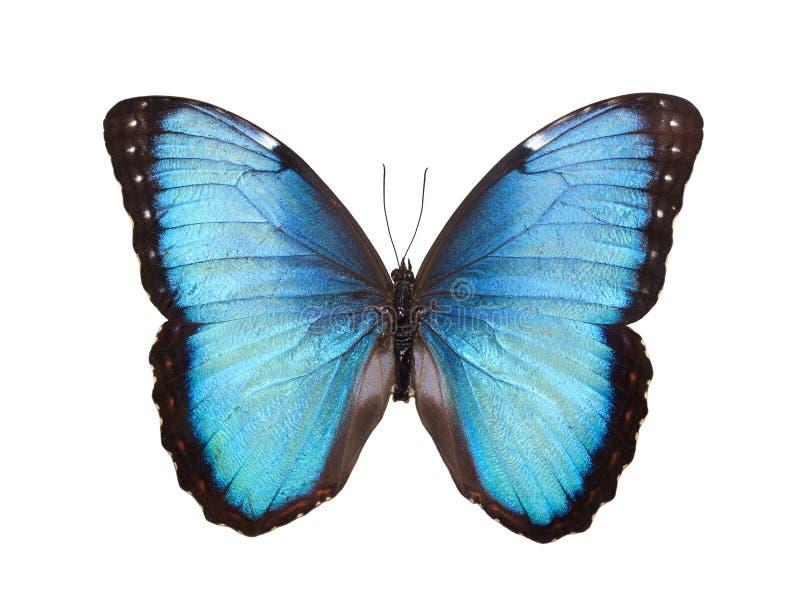 蝴蝶查出的白色 库存照片