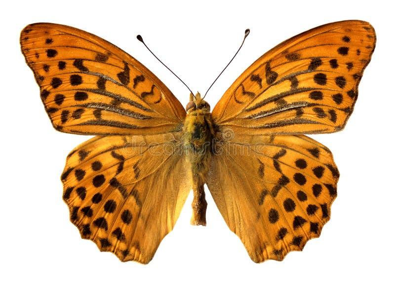 蝴蝶查出被洗涤的银 免版税图库摄影