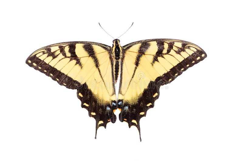 蝴蝶查出swallowtail老虎 库存照片